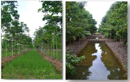 Foto 2. Agroforestry di lahan gambut. Lokasi Kelurahan Kalampangan, Kota Palangkaraya (Foto: Marinus, BPK Banjarbaru)