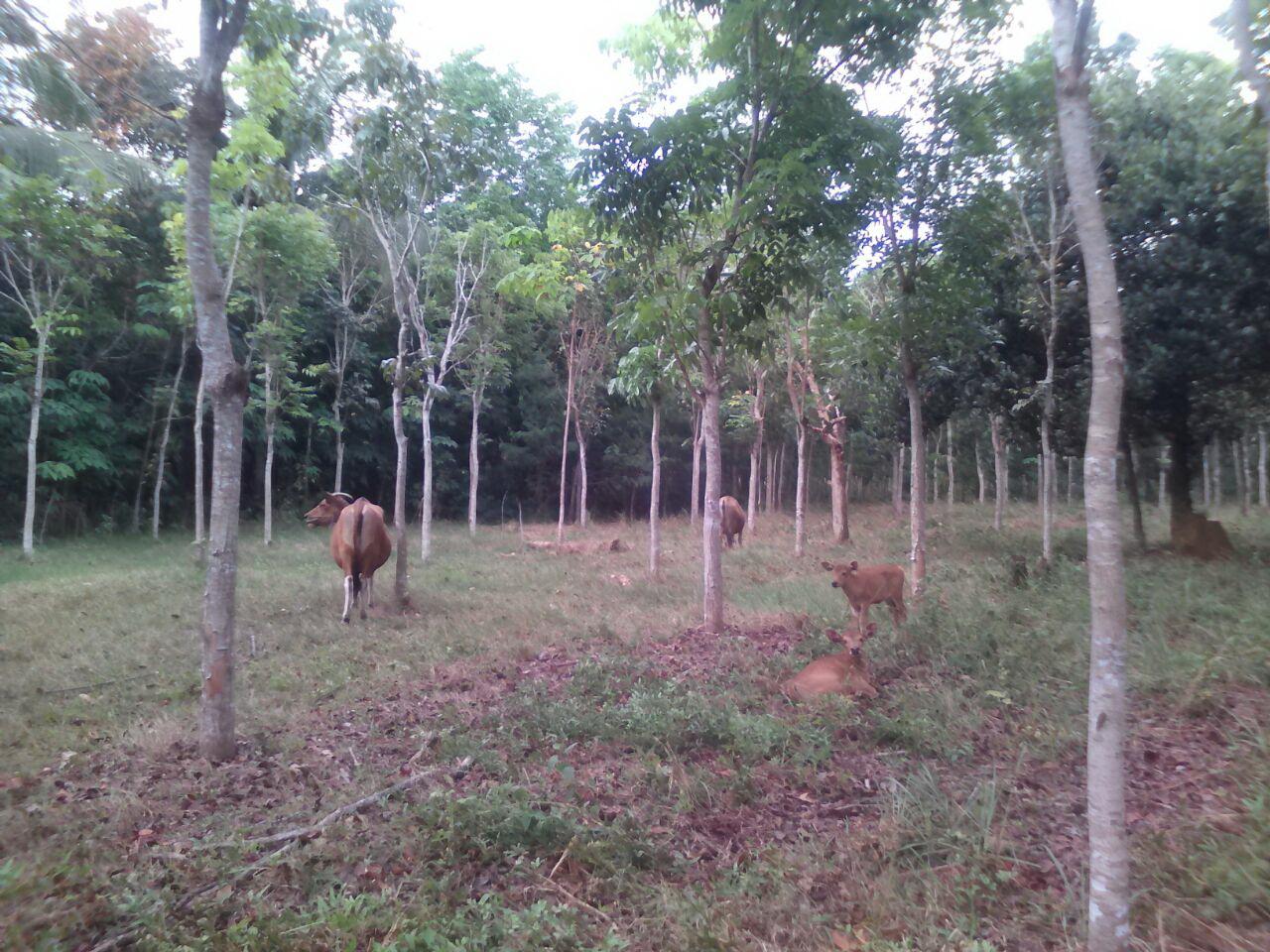 Agroforestry silvopastura di Desa Telaga Langsat